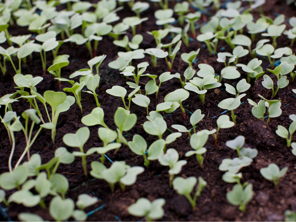 Seedlings at Channel Farm